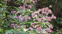 Multiple swallotail butterflies on pink flowers in sunlight Stock Footage