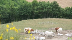 Large herd of white cows grazing in meadows of Italy Stock Footage