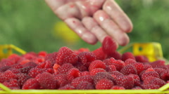 Picker loading crate with raspberries,close up,girl picking fruits in background Stock Footage