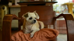 Dog so cute on chair Stock Footage