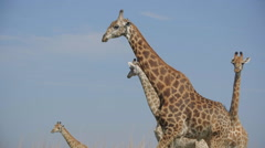 Giraffes graze on the Savannah of South Africa Stock Footage