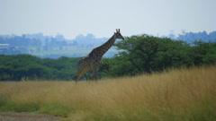 Giraffes graze on the Savannah of South Africa Stock Footage
