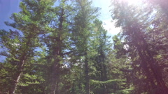 Walking In A Pine Forest With Sun Flares Shining On A Summers Day Stock Footage