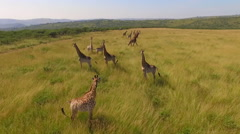 Stock video footage aerial view of the Savannah and giraffes Stock Footage