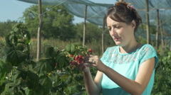 Young girl picker collecting raspberries, then with smile eating one raspberry. Stock Footage