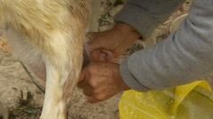Grandma Milking A Goat Stock Footage