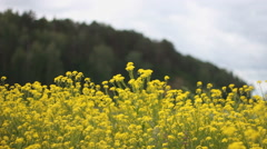 Yellow flowers swaying in the wind. Bees. Wildflowers Stock Footage