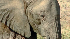 Extreme Close Up then Zoom Out of African Elephant Stock Footage