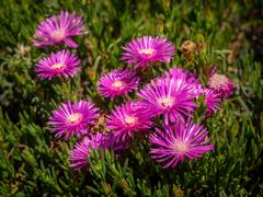 Violet aster flowers Stock Photos