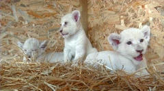 White lion cub predator Stock Footage