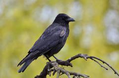Black crow, Corvus corone, common crow Stock Photos