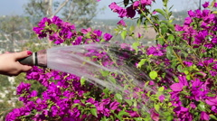 WATERING PINK BOUGAINVILLEA WITH HOSE - MOS Stock Footage
