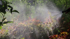 WATERING NANDINA PLANTS WITH HOSE - MOS Stock Footage