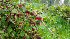 Fresh green bush full of red gooseberries, vaccinium vitis-idaea Stock Footage