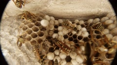 Wasps Move the Tops of Their Honeycombs Closeup Stock Footage