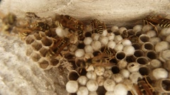 Wasps Lording Over Their Honeycombs Closeup Stock Footage
