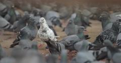 Thousands of pigeons crowd around the grounds of a Buddhist Temple in Nepal. Stock Footage