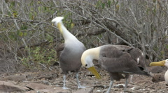 Waved albatross mating dance on isla espanola in the galapagos Stock Footage