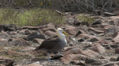 Tracking shot of a waved albatross walking on isla espanola in the galapagos Stock Footage