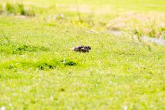 Alert hare lying down in grass with ears flat Stock Photos