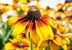 Detail photo of yellow echinacea flower Stock Photos