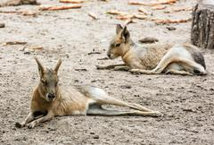 Patagonian mara - Dolichotis patagonum is a relatively large rodent in the ma Stock Photos