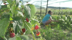 Plant of raspberry close up, dolly shot, man passes by female pickers by Pakito. Stock Footage