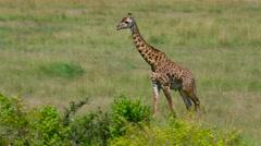 MASAI GIRAFFE WALKING MAASAI MARA KENYA AFRICA Stock Footage