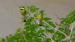 AFRICAN LITTLE BEE-EATERS MAASAI MARA KENYA AFRICA Stock Footage
