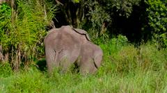 ELEPHANTS WAGGING TAILS MAASAI MARA KENYA AFRICA Stock Footage