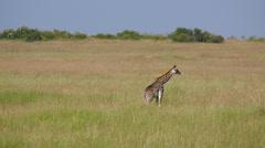 MASAI GIRAFFE LONG GRASS MAASAI MARA KENYA AFRICA Stock Footage