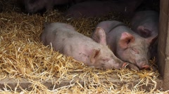 Pigs in pigsty Stock Footage