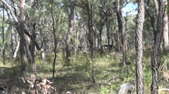Eastern Grey Kangaroos jumping in the Eucalytus forest and Whiptail Wallabies Stock Footage