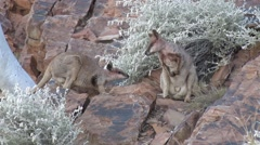 Purple-necked Rock Wallabies standing on red rock in gorge landscape beside w Stock Footage
