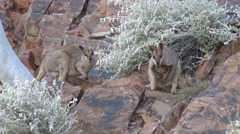 Purple-necked Rock Wallabies standing on red rock in gorge landscape Stock Footage