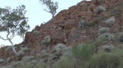 Purple-necked Rock Wallaby female in the red gorge with baby in pouc Stock Footage