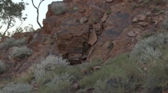 Purple-necked Rock Wallaby female in the red rocks in gorge with baby Stock Footage