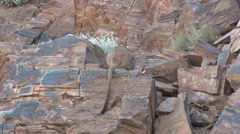 Purple-necked Rock Wallaby female in the red rocks in gorge with baby in pouc Stock Footage