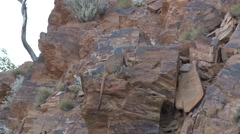 Purple-necked Rock Wallaby female on the red rocks in gorge with baby Stock Footage