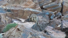 Purple-necked Rock Wallaby female jumps in the red rocks in gorge with baby Stock Footage