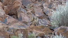 Purple-necked Rock Wallaby female standing in the red gorge Stock Footage