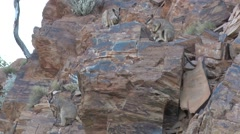 Purple-necked Rock Wallaby males and female with baby in pouch looking around Stock Footage