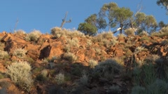 Purple-necked Rock Wallaby standing in red gorge taking a sunbath Stock Footage