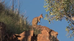 Purple-necked Rock Wallaby standing on red rock in gorge landscape in late af Stock Footage