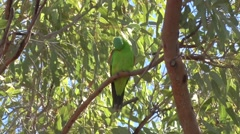 Red-winged parrot sits in windy tree cleaning feathers close up Stock Footage