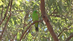 Red-winged parrot sits in windy tree cleaning feathers Stock Footage