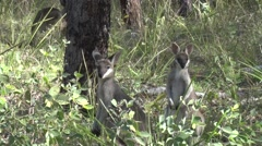 Whiptail Wallabies standing in green bush looking close up Stock Footage