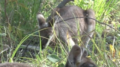 Whiptail Wallaby feeding in eucalyptus forst in the afternoon close up Stock Footage
