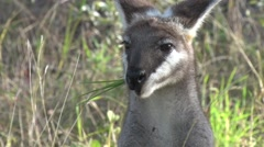 Whiptail Wallaby feeding on grass in bush in the afternoon portrait of head Stock Footage