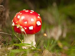 Red poisonous mushroom in the forest grass Stock Photos